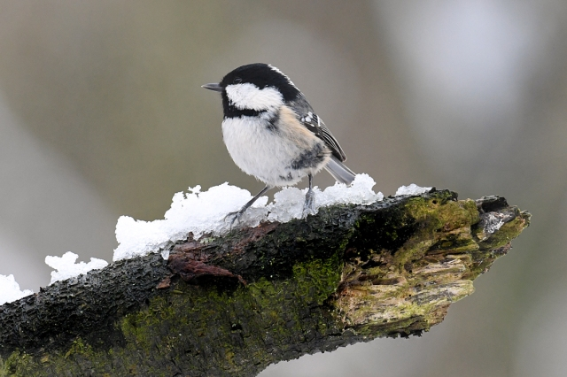 Coal Tit Snow 3