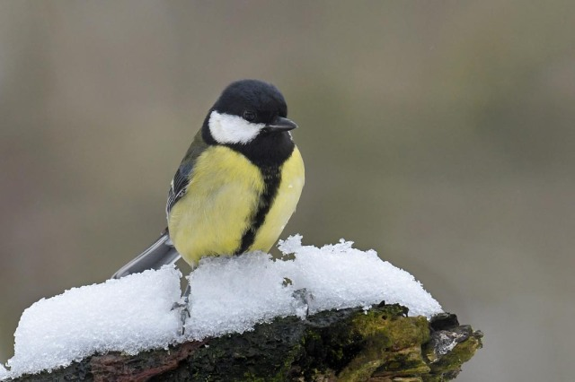 Great Tit In Snow 2