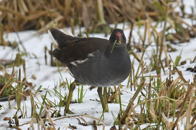 Moorhen Eating