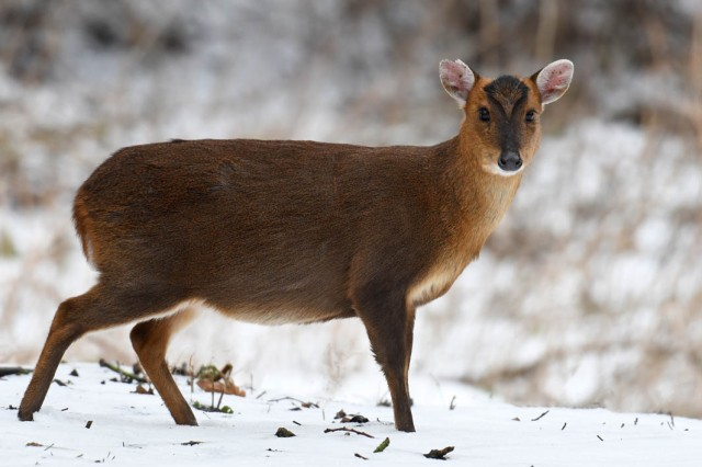 Muntjac In Snow