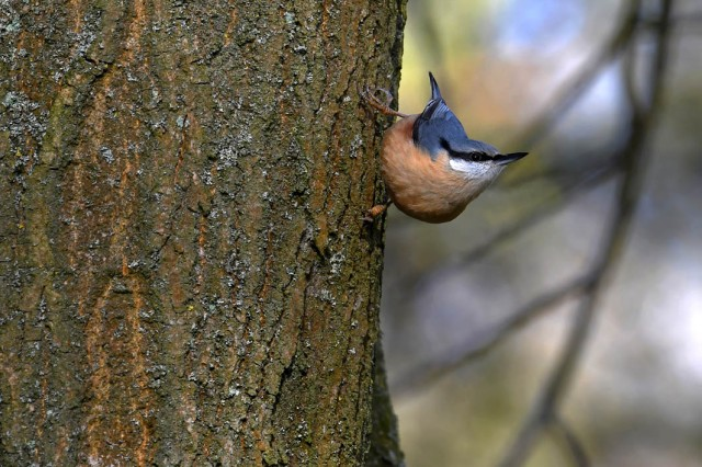 Nuthatch On Tree 2