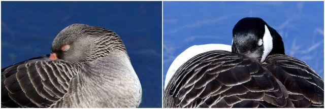 Greylag dozing in the sun duo