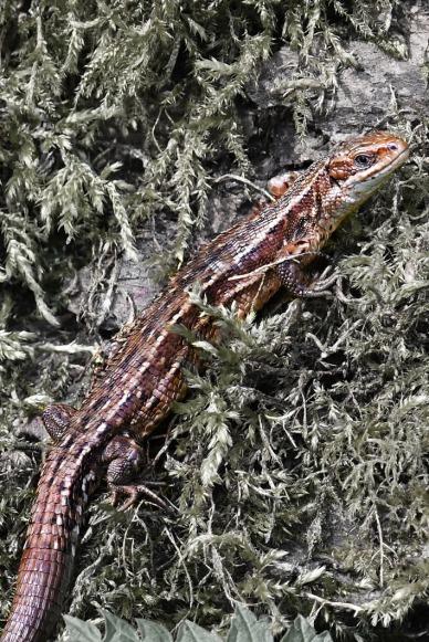 Lizard 5