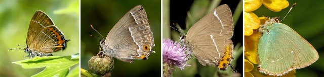 Four Hairstreaks
