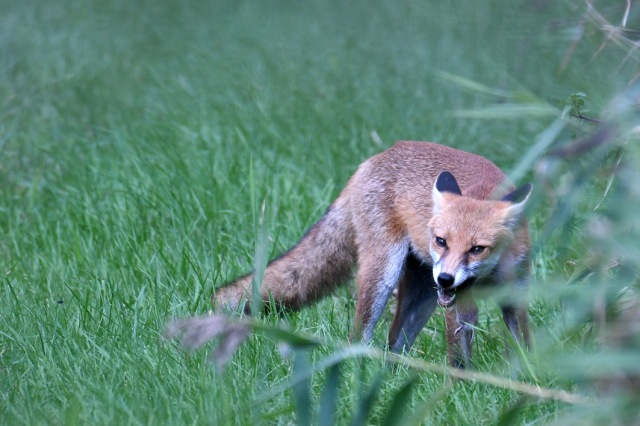 Fox Eating
