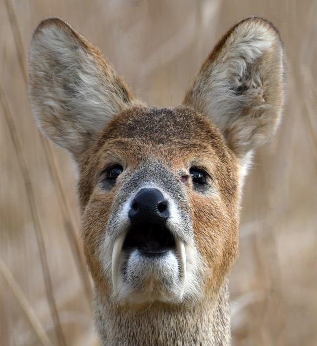 water deer portrait