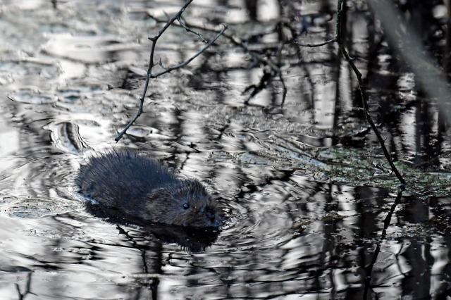 water vole 6