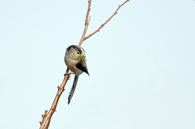 Long Tailed Tit Nest Building 1