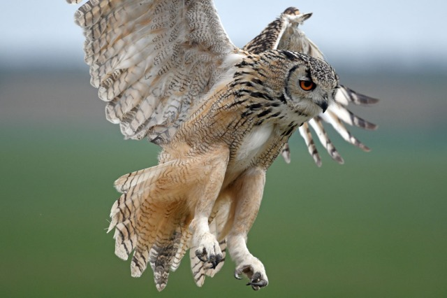African Owl 4