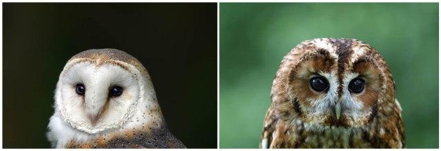 Barn Owl And Tawny