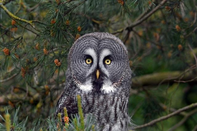 Big Faced Owl 1