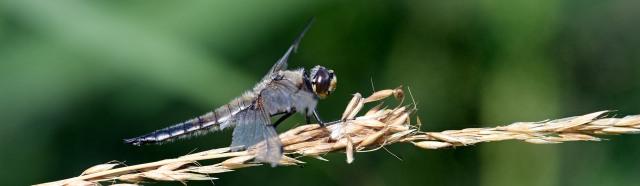 Dragonfly Pano