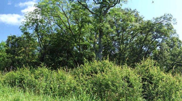 Low Cut Blackthorn