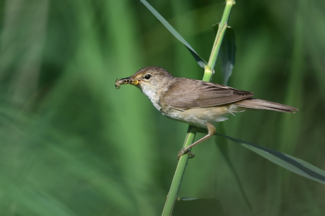 Red Warbler with food 3