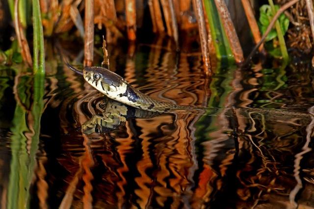 Grass Snake 2