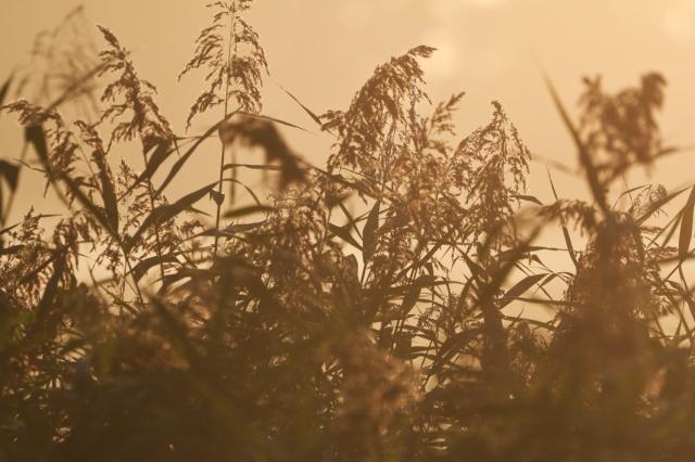 Misty reeds