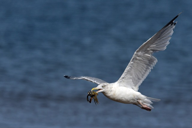 Seagull With Crab 1