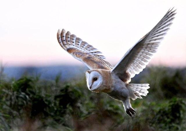 Barn Owl Flying Evening A4 White