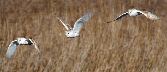 Barn owl flight sequence 2